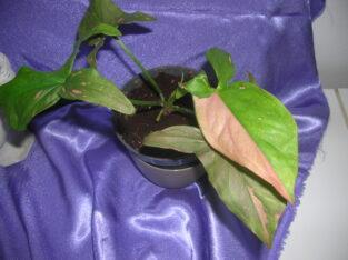 syngonium red spot