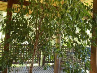 Ficus Benjamini ca. 2,30 m- Lieferung möglich!