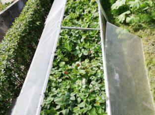 Erdbeerpflanzen Ableger