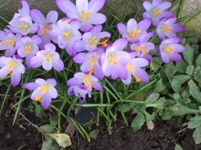 Wildkrokus Blumenzwiebeln botanischer Krokus lila – 50 Stück