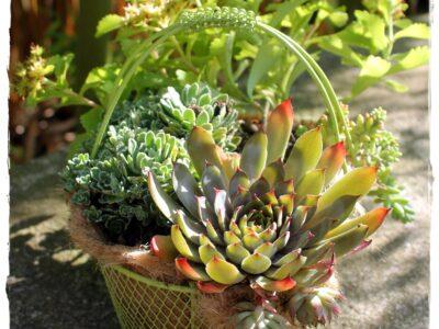 Grüner Drahtkorb mit Henkel! Bepflanzt mit Hauswurz+Sedum