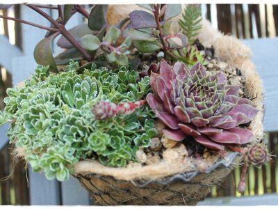 Drahtkorb mit Öse zum aufhängen! Bepflanzt m. Hauswurz+Sedum