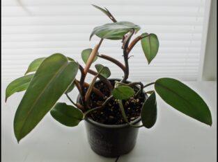 Schöne Pflanze des ##Philodendron erubescens 'Red Emerald'##