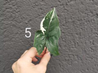 Syngonium Albo Variegata (Steckling)