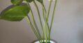 2x Anthurium weiß Flamingoblume mit Topf und Seramis
