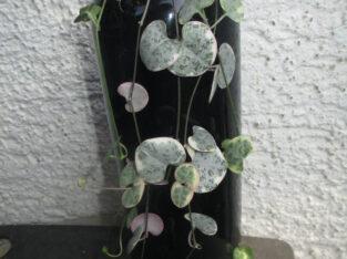 Ceropegia woodii variegata_Leuchterblume_6 Ablege_bewurzelt
