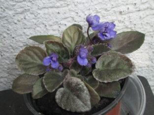 Usambaraveilchen Sundown Trail_1 Pflanze_African Violet