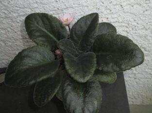 Usambaraveilchen_Pflanze_apricotfarbene Blüte_African Violet