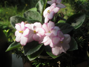 Usambaraveilchen_Pflanze_Rob's Loose Noodle_African Violet