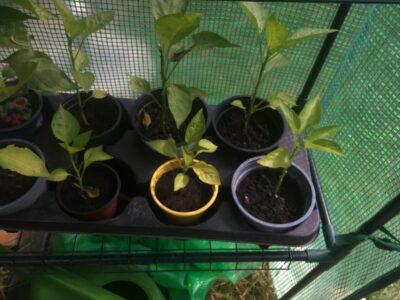 Paprika Pflanzen Vorgezogen mittelgroß