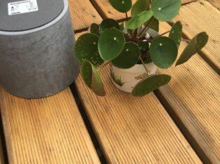 Pilea chinesische Geldpflanze Ufopflanze