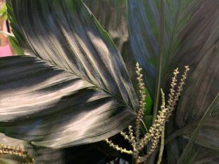 Fischschwanzpalmen Samen