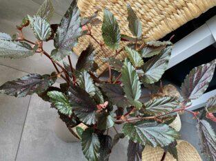 Begonia Benigo, Pink Polker Dot Begonie