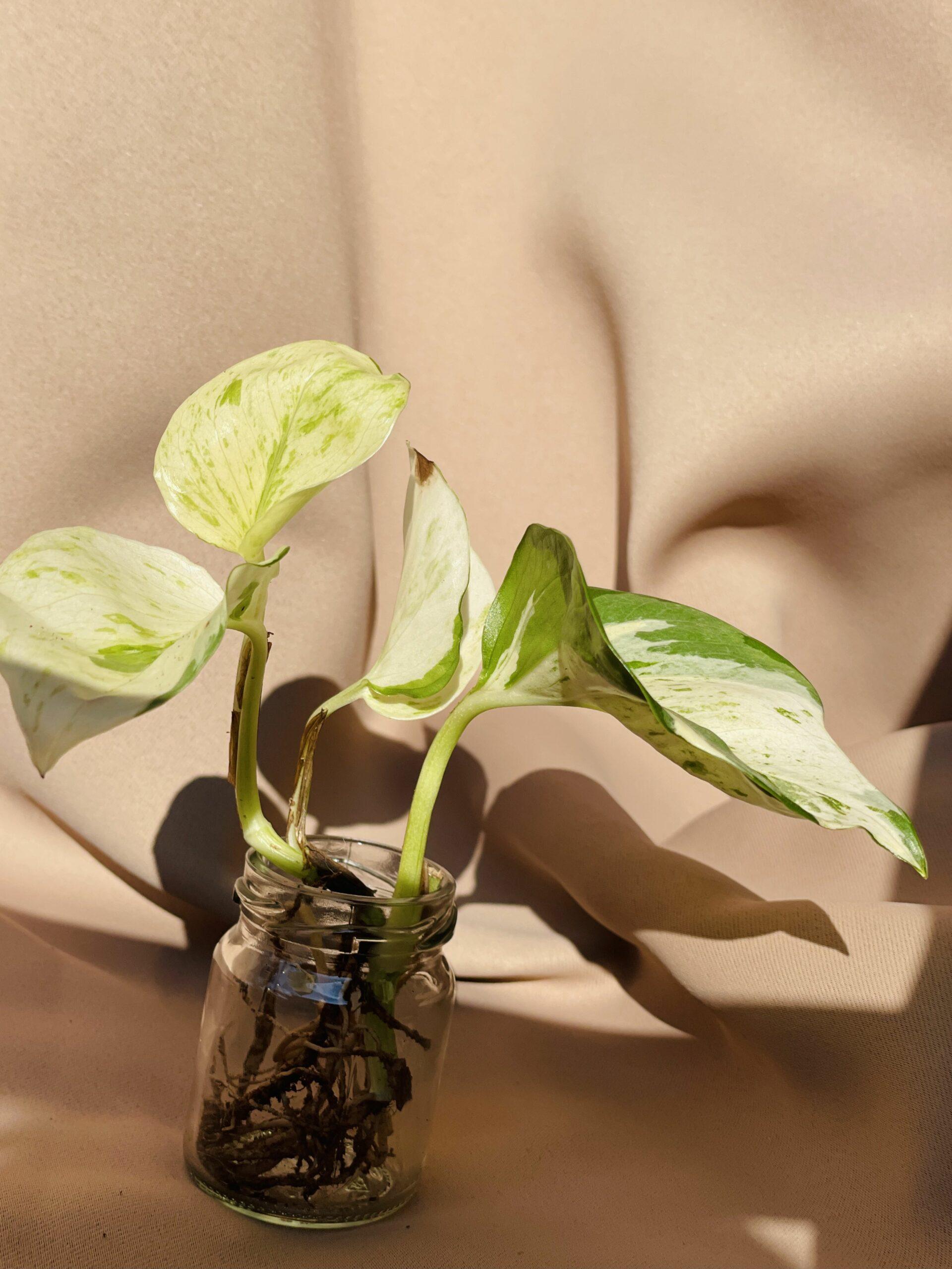 Efeutute Happy Leaf