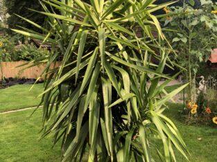 Echte Yucca Palme – sehr gut erhalten – vom Gärtner überwintert