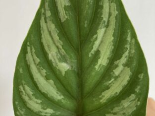 philodendron Mamei Ableger