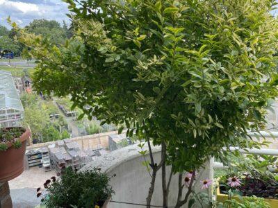 Goldliguster Aureum, 230 cm grosser Baum