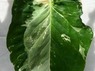 Syngonium Albo Variegata Ableger