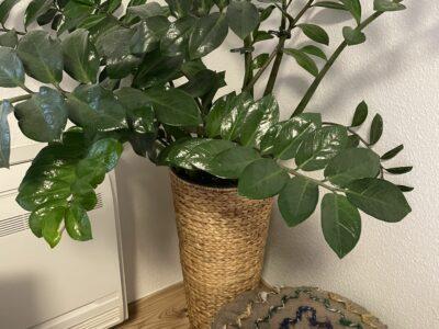 Große Pflanze Zamioculcas mit Rattan Kübel