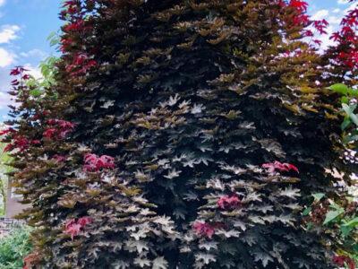 Mix Roter Fächerahorn Silberahorn Ahorn Baum 5 Meter Höhe