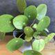 Pilea Pflanzen und Ableger