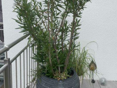 Oleander XXL (rosa)