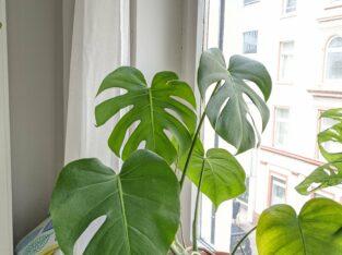 Monstera Pflanze