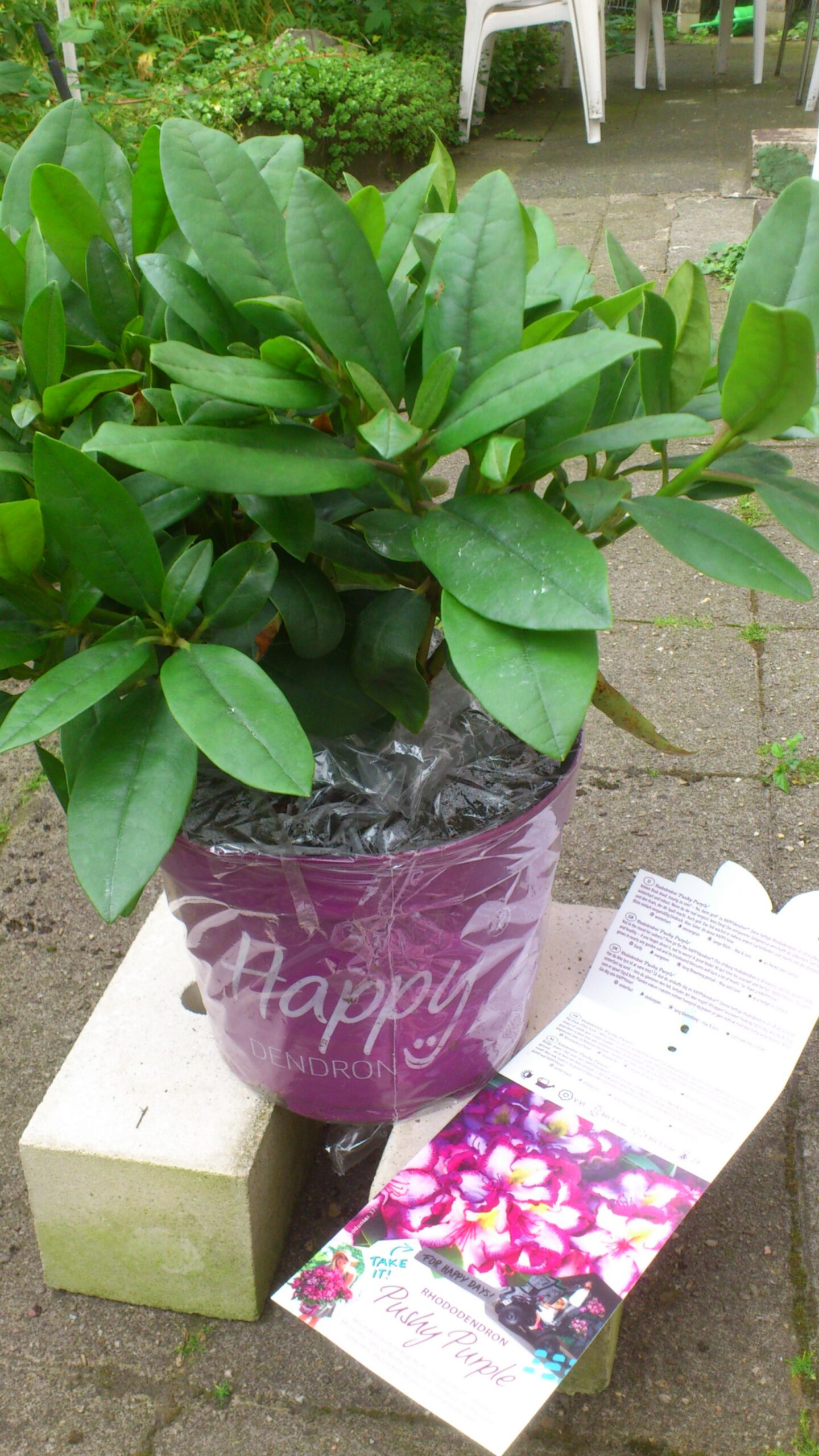 1 Topf Rhododendron Happydendron Pushy Purple, 40 cm