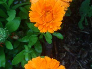 Ringelblumen Samen