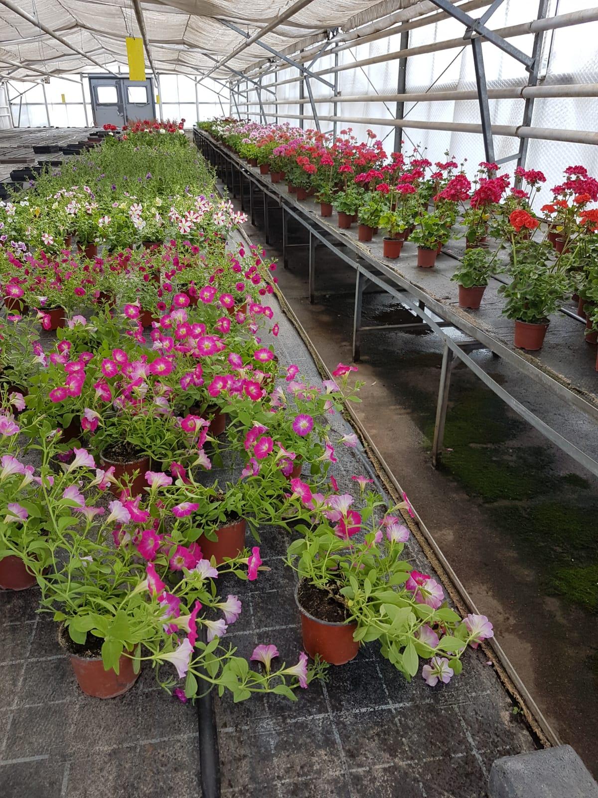 Sommerblumen, großes Angebot!