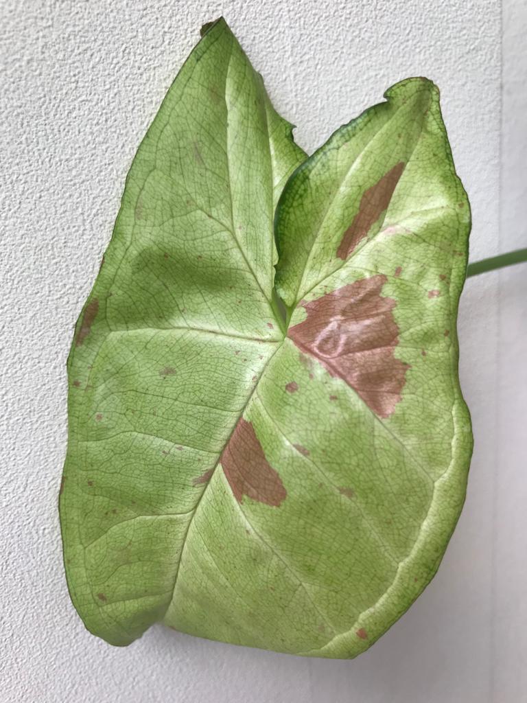 Syngonium Confetti Steckling