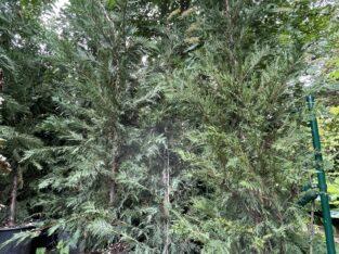 Bastardzypressen (stolze 280 cm hoch)