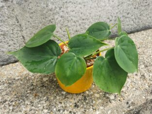 Philodendron Hederaceum Jungpflanze