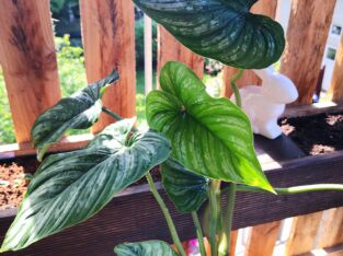 Philodendron Mamei Ableger / Steckling