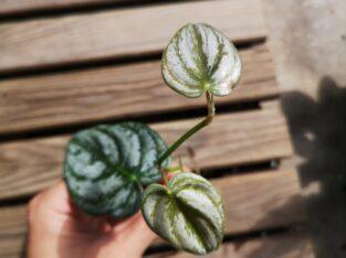 Philodendron branndiatum