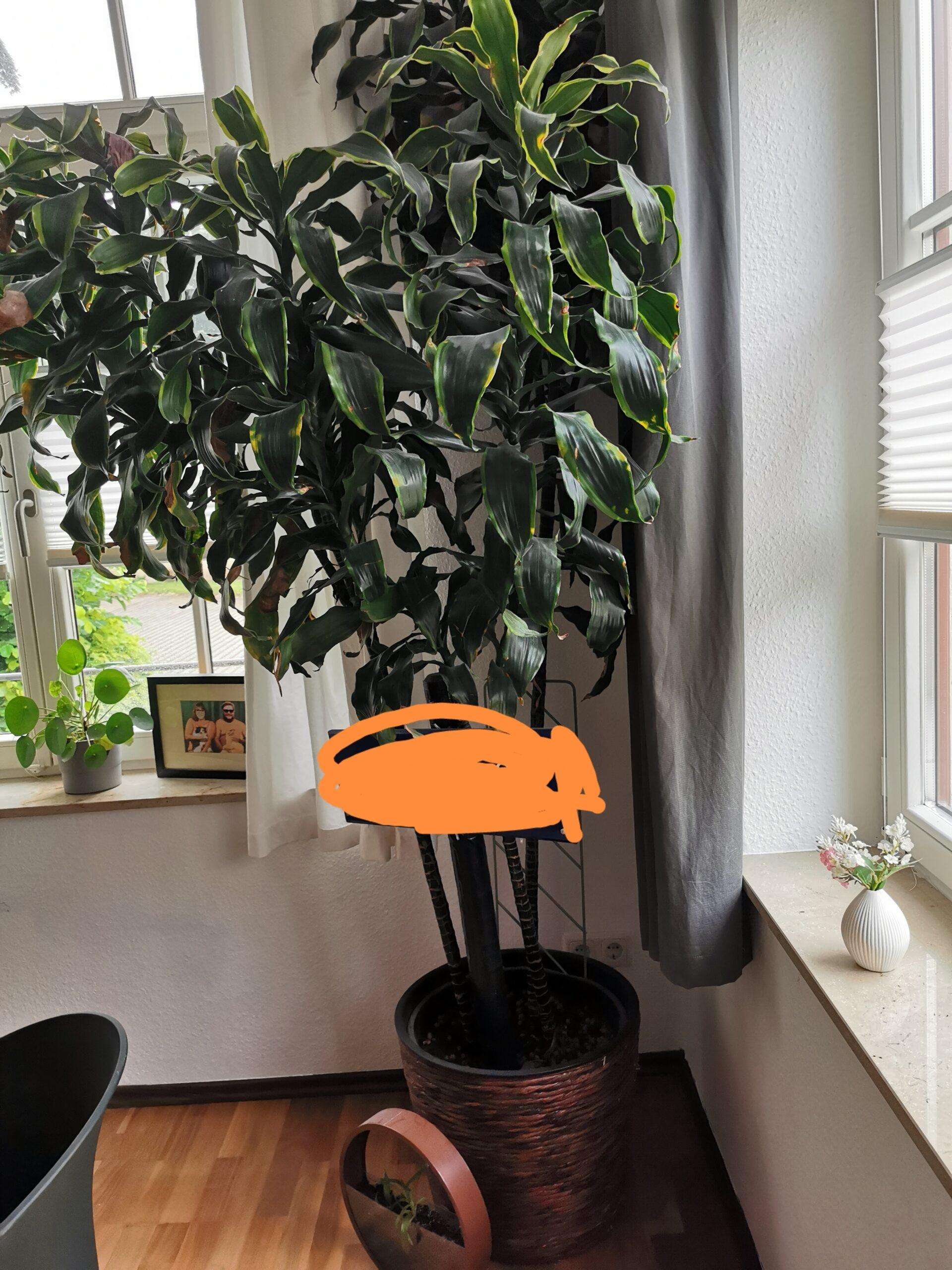 Dracaena deremensis / Drachenbaum (3 Stück im Topf)