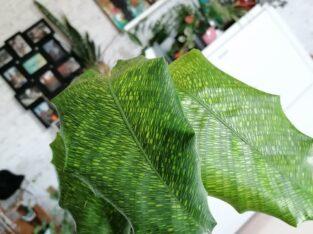 Network Plant / Calathea musaica