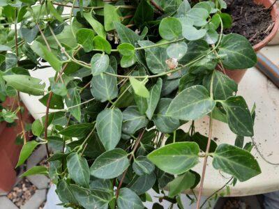 Immergrün, Bodendecker, Winterhart,  aus Bio- Garten