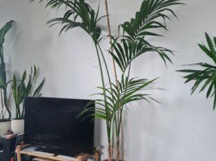 Kentia Palme 250cm ++