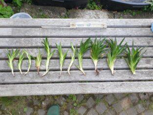 Aloe aristata Haw. Ableger und etablierte Pflanzen, verschiedene Größen
