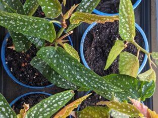 Forellenbegonie, Begonie, begonia albopicta