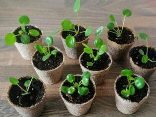 Pilea/Ufopflanze Ableger (4 Stück)