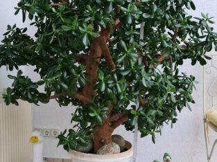 Philodendron Melanochrysum XL Kopfsteckling
