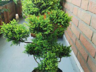 Cyprys bonsai