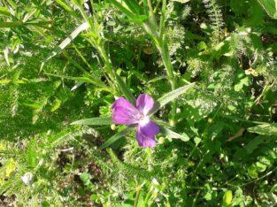 Kornrade ( Agrostemma githago ) Samen – Ernte 2021