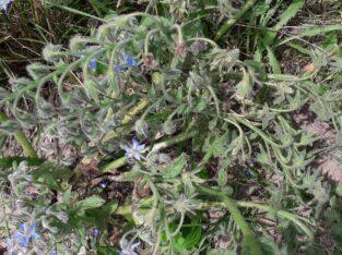 Borretsch ( Borago officinalis ) Samen – Ernte 2021