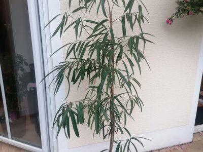 Ficus Alii