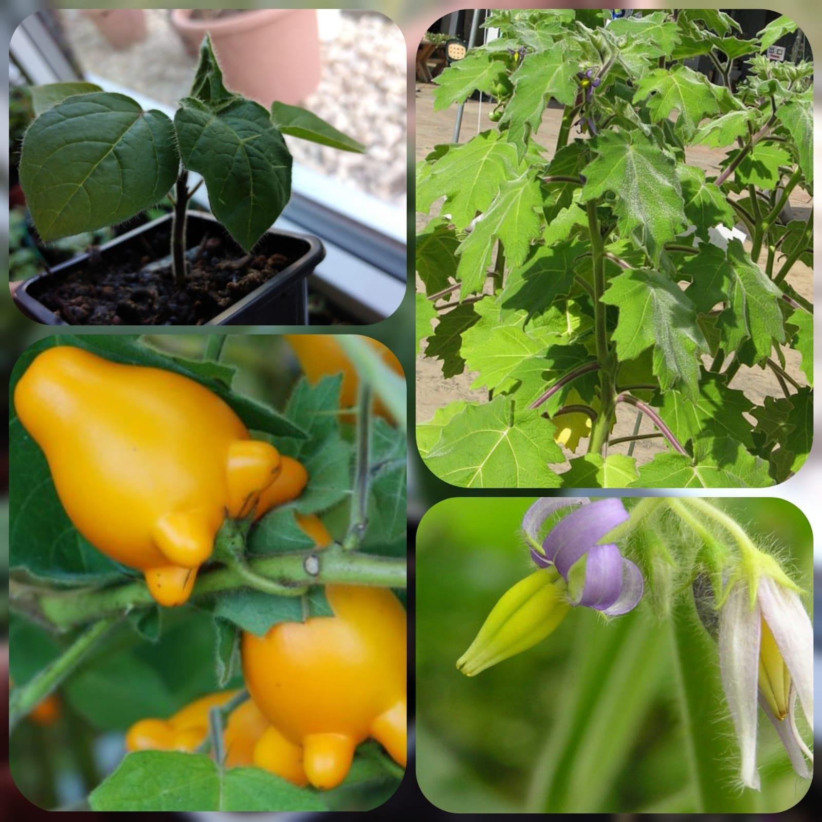Kuheuterpflanze