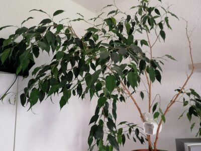 Birkenfeige Ficus