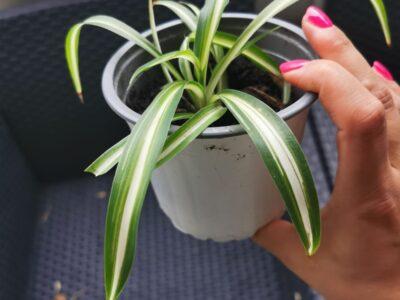 Zimmerpflanzen Grünlillie